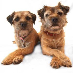 Border Terriers with their paws crossed