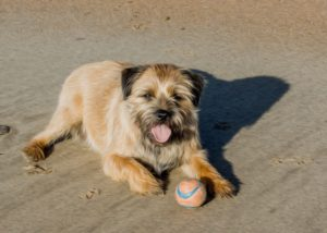 Digital oil picture of a border terrier