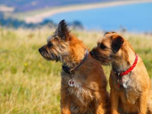 Two border terriers together