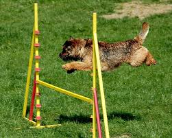 Border Terriers have great agility